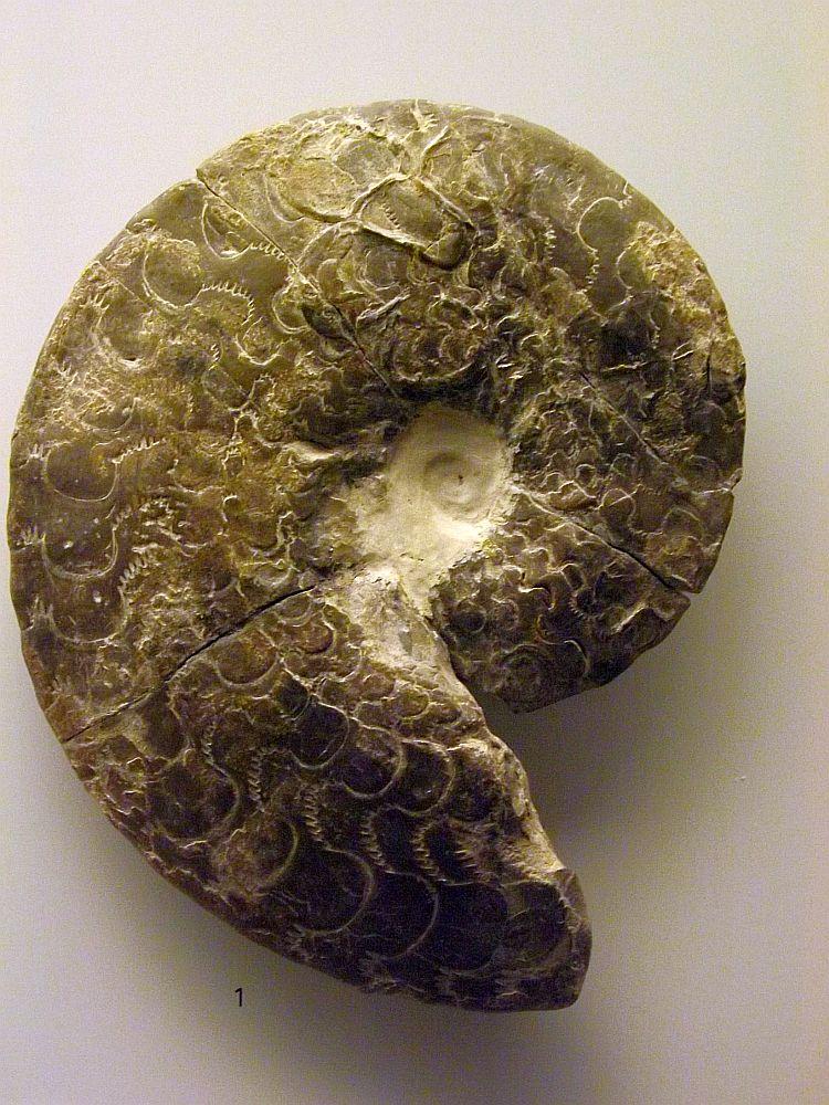 Ceratites semipartitus (Naturmuseum Augsburg)