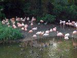 Enten und Flamingos (Erlebniszoo Hannover)