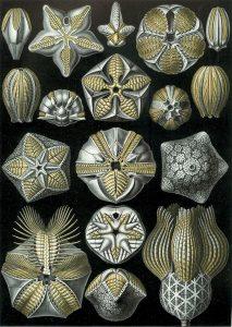 Knospenstrahler (Ernst Haeckel)