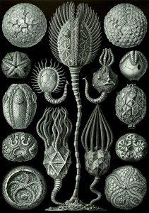 Cystoideen aus Ernst Haeckel's Kunstformen der Natur. In der Mitte vollständige Exemplare, rechts und links isolierte Kelchkapseln (Theken). Rechts und links unten jeweils ein Edrioasteroide, die nicht zu den Cystoideen gehören.