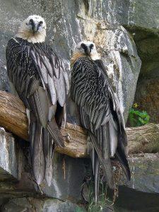 Bartgeier (Tierpark Berlin)