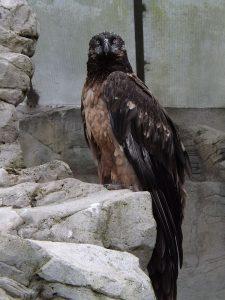 Bartgeier (Zoo Frankfurt)