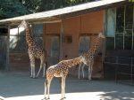 Rothschildgiraffen (Ouwehands Dierenpark)