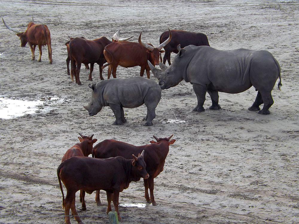 Watussirinder und Breitmaulnashörner (Safaripark Beekse Bergen)