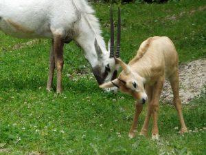 Arabische Oryx (Zoo Krenglbach)