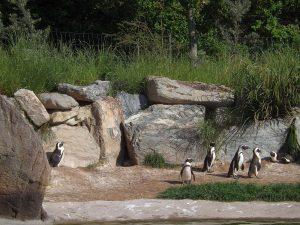 Brillenpinguine (Opel-Zoo)