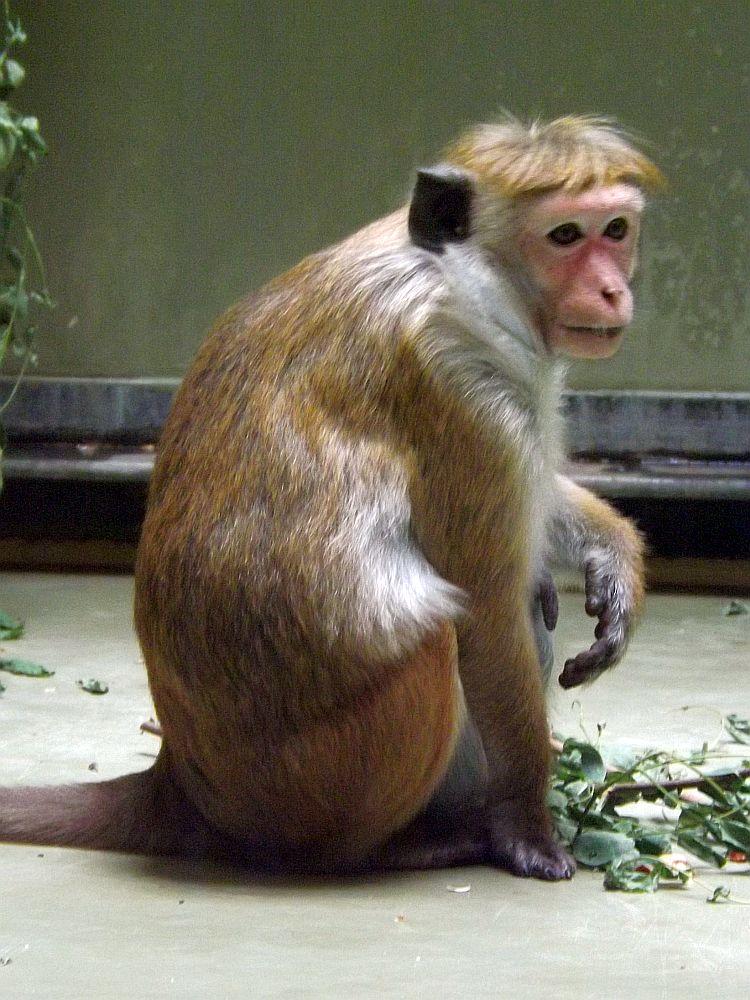 Ceylon-Hutaffe (Zoo Berlin)