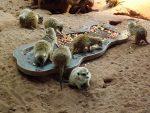 Erdmännchenfütterung (Thüringer Zoopark)