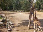 Giraffenanlage (Zoo Amersfoort)