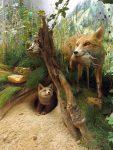 Tiere Mitteleuropas (Naturkundemuseum Coburg)