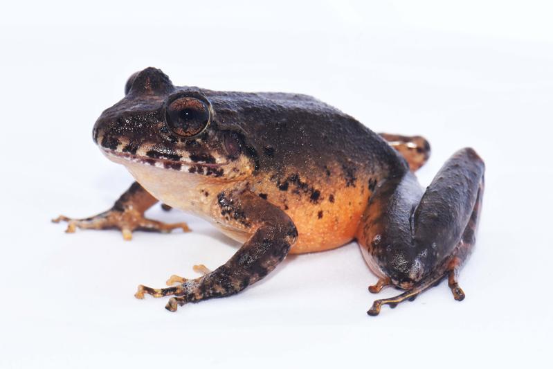 Totgeglaubte leben länger. Ein Exemplar der für ausgestorben erklärten Froschart Craugastor escoces wurde wiederentdeckt (Gilbert Alvarado, Universidad de Costa Rica)
