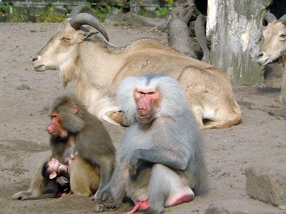 Mantelpavian und Mähnenspringer (Zoo Amersfoort)