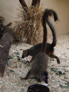 Rotstirnmaki (Zoo Plzen)