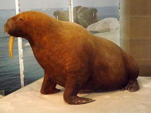 Walross (Zoologische Forschungsmuseum Alexander Koenig)