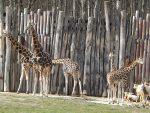 Rothschildgiraffen und Säbelantilopen (Zoo Leipzig)