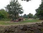 Kamelanlage (Zoo Rotterdam)