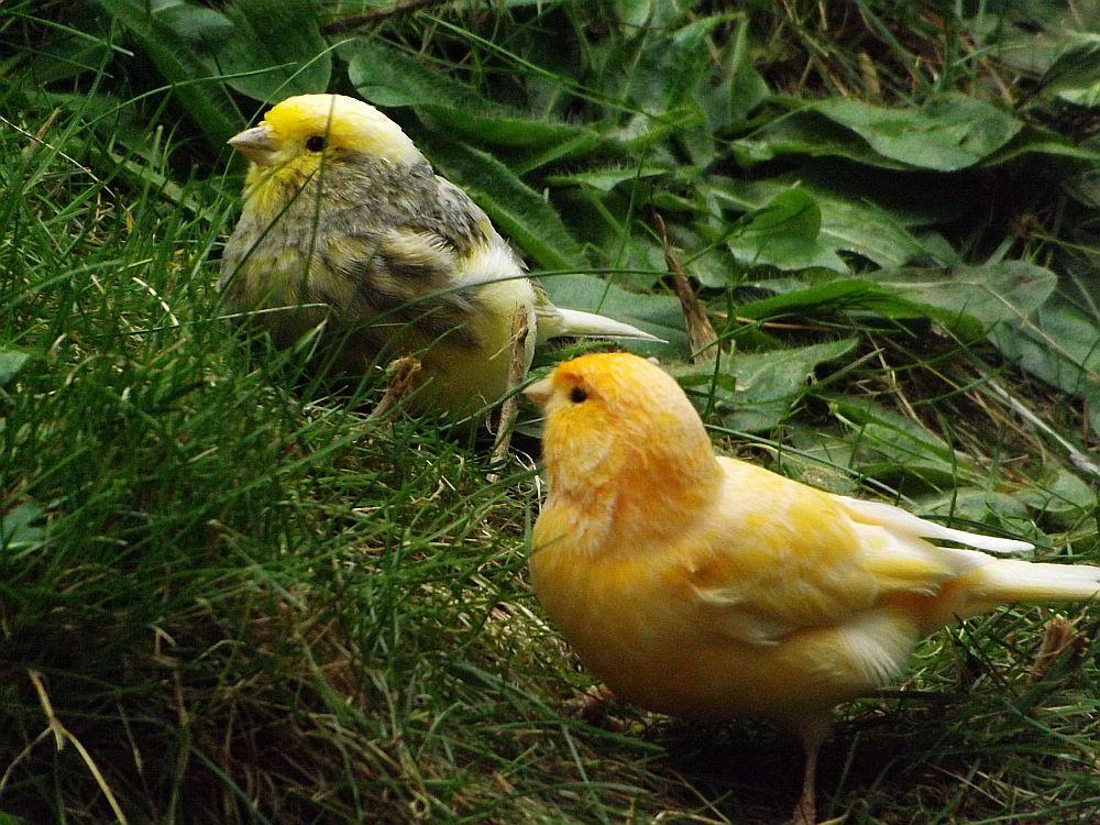 Kanarienvogel (Zoologischer Garten Hof)