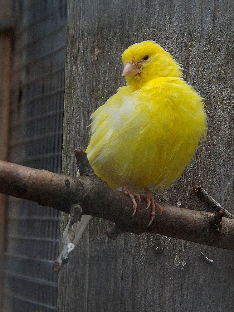 Kanarienvogel (Wildpark an den Eichen)