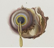 Ommatokoita elongata (Urheber mir unbekannt)
