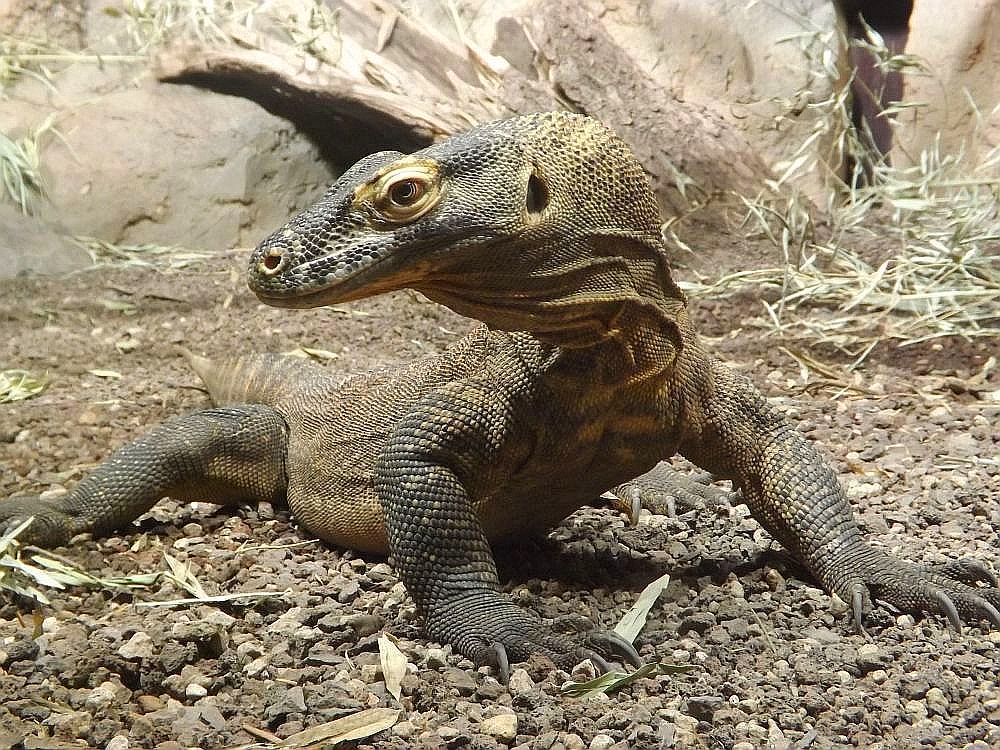 Komodowaran (Zoo Leipzig)