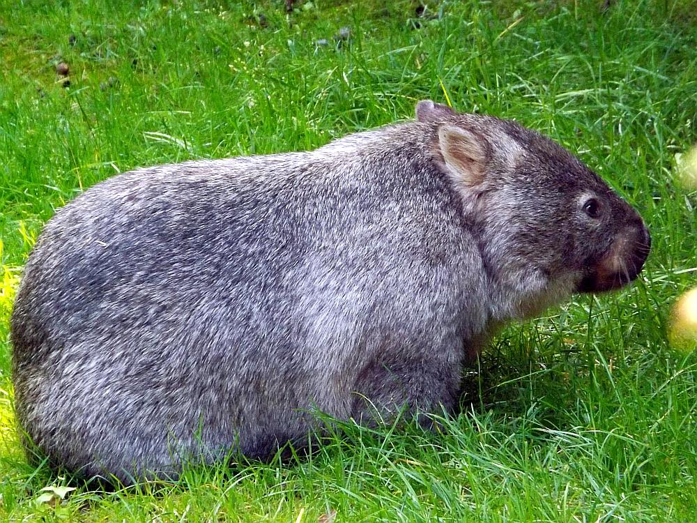 Nacktnasenwombat (Erlebniszoo Hannover)