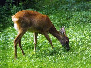 Reh (Wildpark Cumberland)