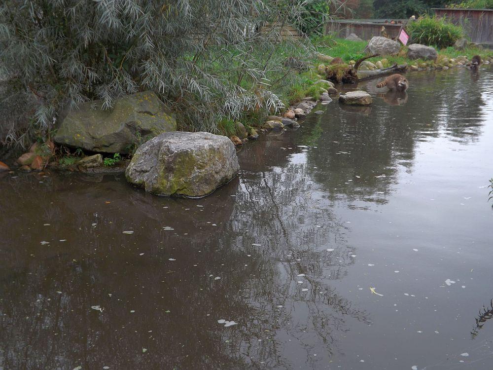 Waschbäranlage (Zoo Rotterdam)