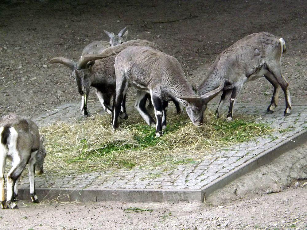 Blauschaf (Tierpark Berlin)