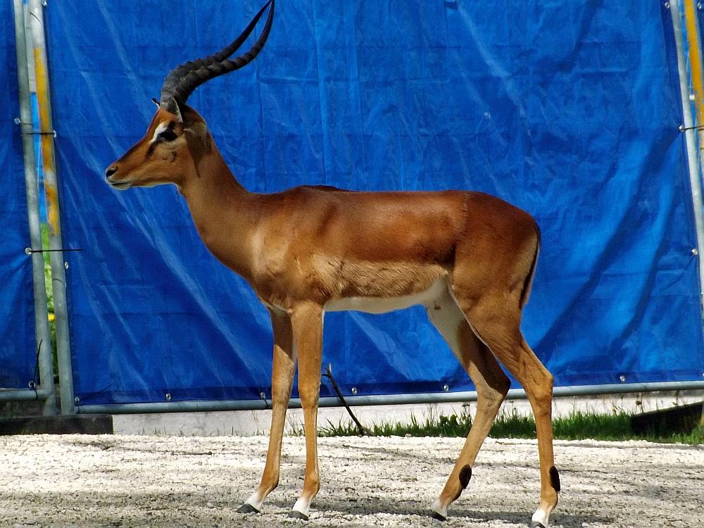 Impala (Zoo Augsburg)