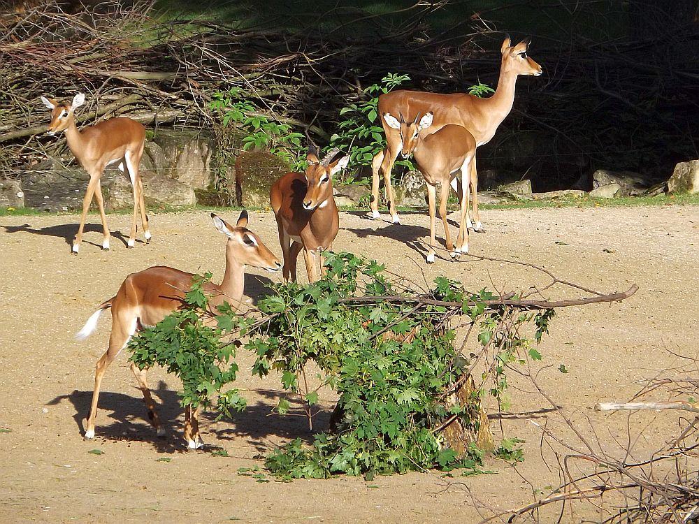 Impala (Erlebniszoo Hannover)