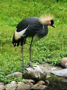 Schwarzhals-Kronenkranich (Weltvogelpark Walsrode)