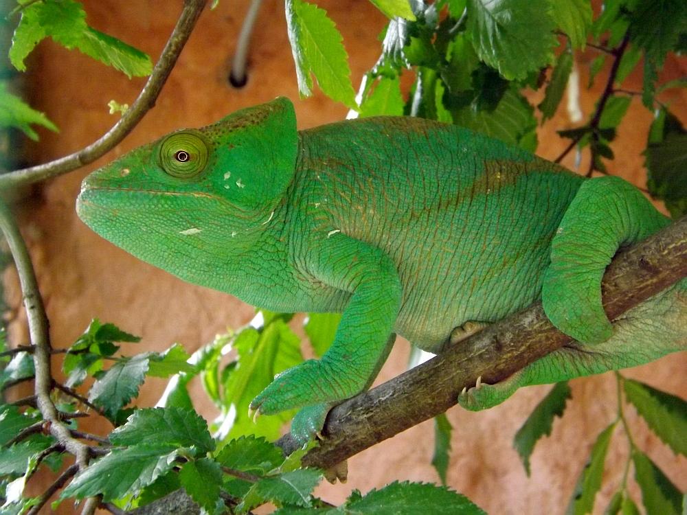 Parsons Chamäleon (Zoopark Zajecz)