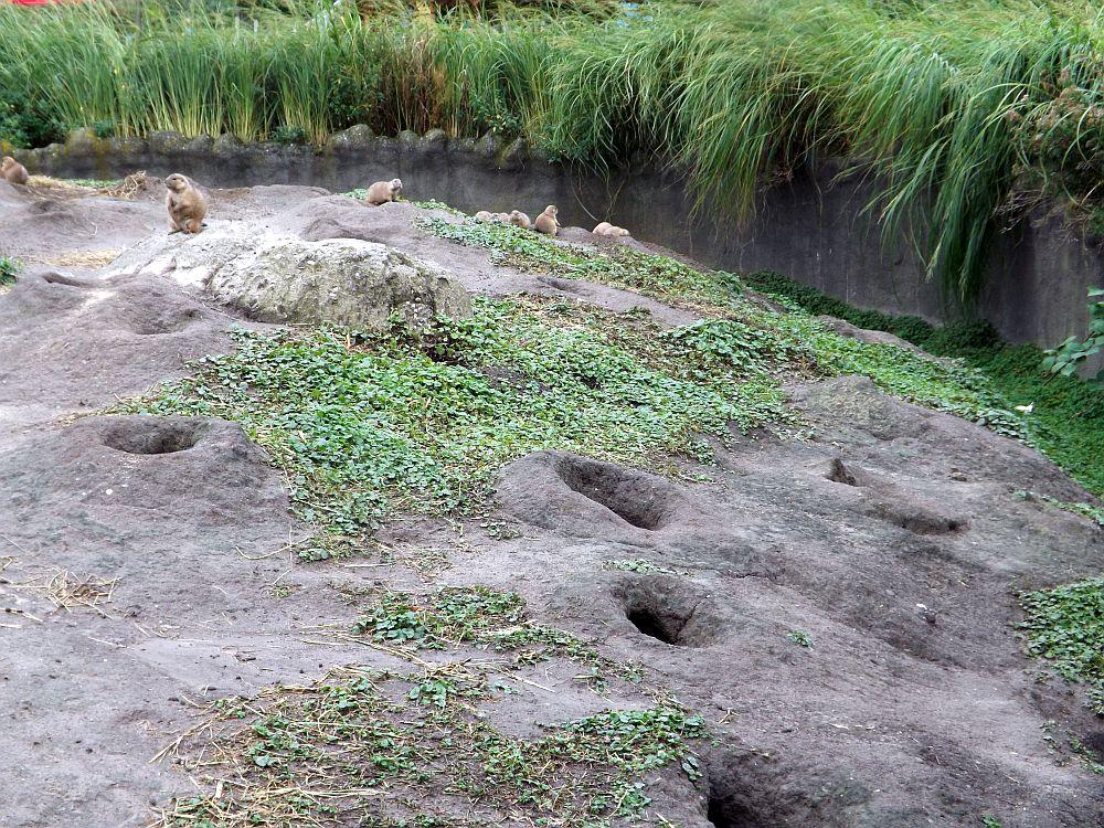 Präriehundanlage (Zoo Rotterdam)