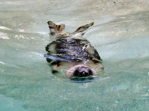 Seehund (Zoo Augsburg)