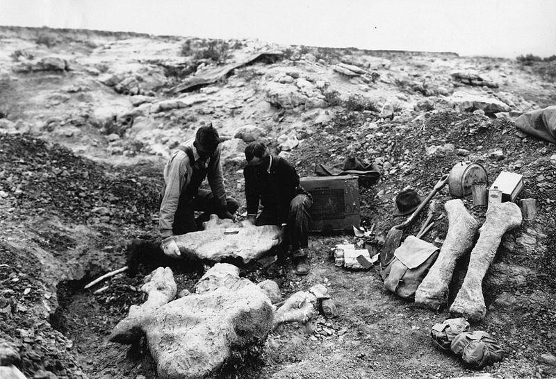 Bergung von Brontotherien-Fossilresten durch Mitarbeiter des National Museum of Natural History im Nordwesten der USA, 1931