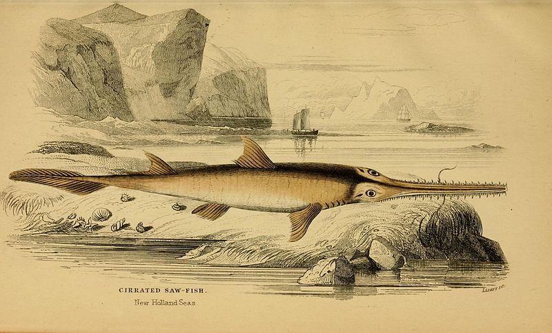 Langnasen-Sägehai (Ichthyology/edited by William Jardine)