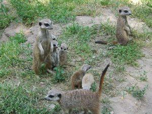 Erdmännchen(Tierpark Wittenberg)