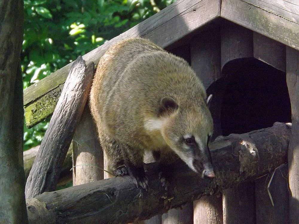 Südamerikanischer Nasenbär (Zoo Augsburg)