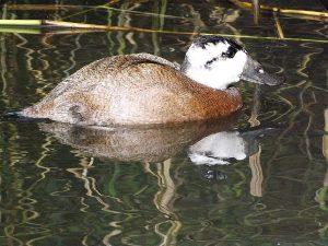 Weißkopfruderente (Vogel- und Naturschutztierpark Herborn)