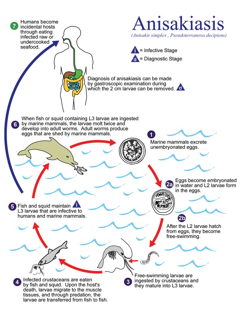 Lebenszyklus von Anisakis simplex