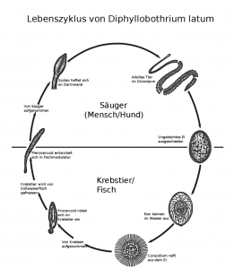 Lebenszyklus des Fischbandwurms (United States Department of Health and Human Services)