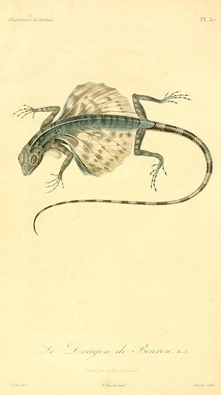 Draco bourouniensis (René-Primevère Lesson)