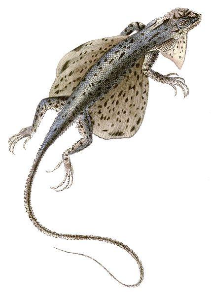 Draco spilopterus (Giraud)