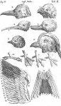Systema Naturae Plate II - Vögel