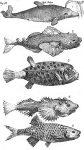 Systema Naturae Plate IV - Fische