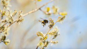 Dunkle Erdhummel, ein Vertreter der bedrohten Fluginsekten (© Ola Jennersten, WWF Sweden)