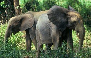 Waldelefant (© Michel Gunther, WWF)