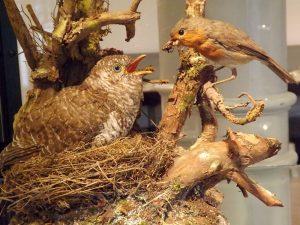 Kuckuck und Rotkehlchen (Naturkundemuseum St. Gallen)