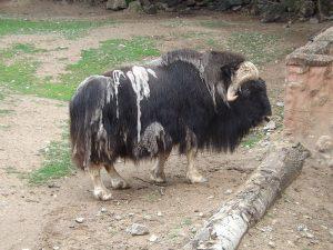 Moschusochse (Zoo Plzen)