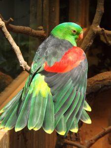Rotflügelsittich (Zoo Ohrada)